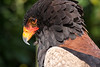 26-Sep-12<br /> <br /> Bateleur Eagle