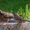 House Sparrow and Juvenile Blackbird