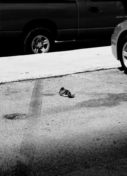 Urban Pigeon-8194