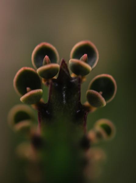 Succulent-