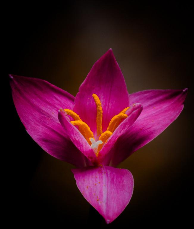 rain lily--2