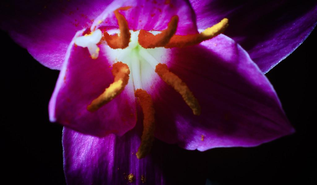 rain lily--3
