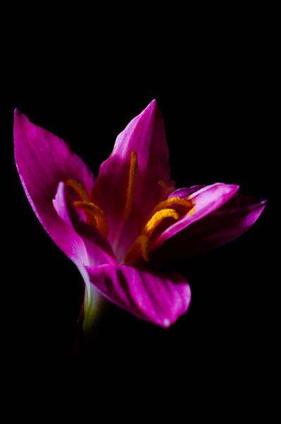 rain lily-3520