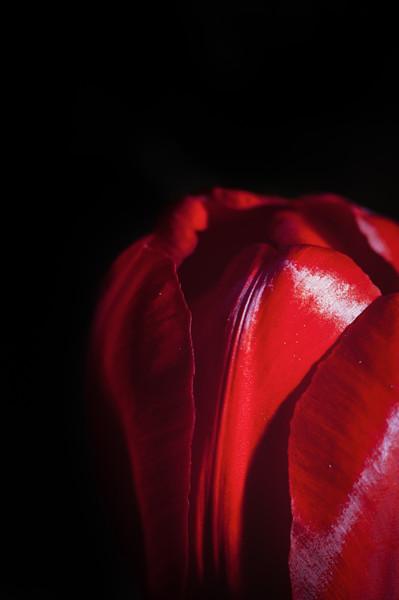 tulip-