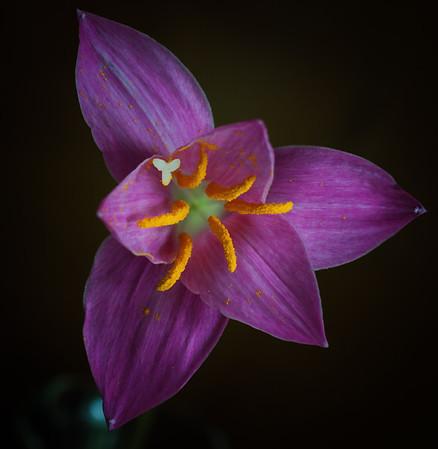 rain lily--5