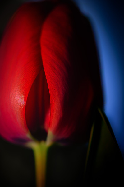tulip--3