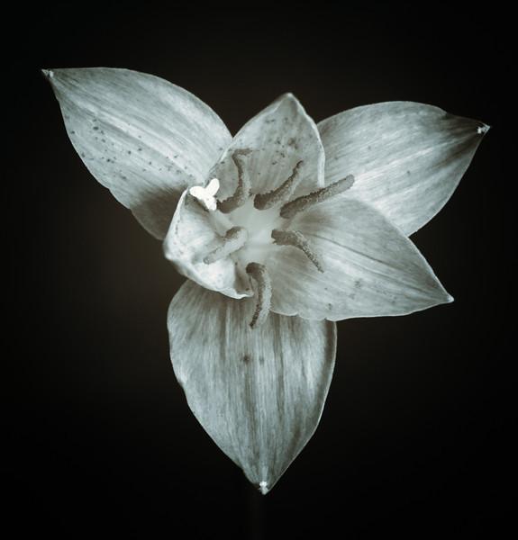 rain lily--4
