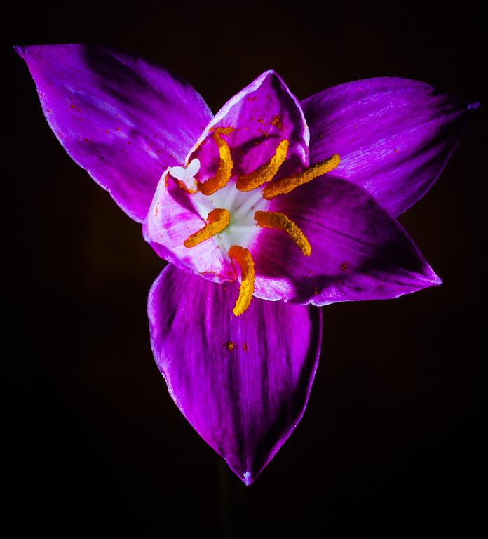 rain lily-