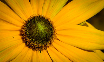 black eyed susan -7680