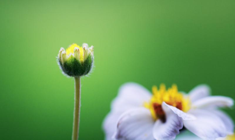 Daisy-