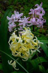 hyacinth-4959