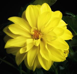 yellow dahlia 041615-