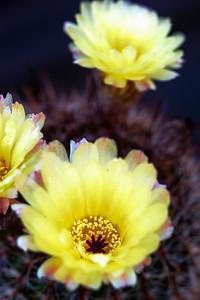 Cactus flower 42515--6