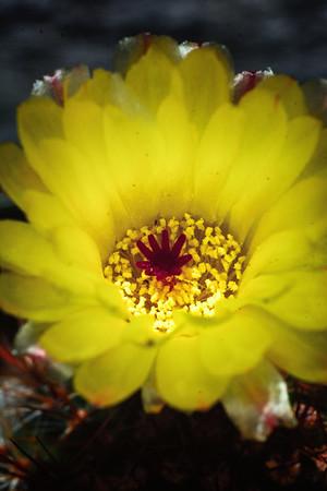Cactus flower 42515--3