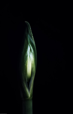 Amaryllis DSC_4790-Edit-1