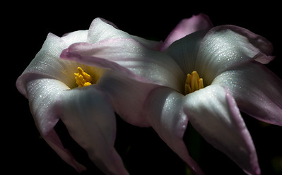 rain lily DSC_8850-Edit-1-3