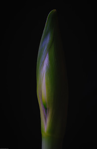 Amaryllis DSC_4743-Edit-1