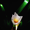 rain lily DSC_8858-Edit-1