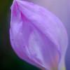 rain lily DSC_8801-Edit-1