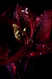 Black Pearl Amaryllis