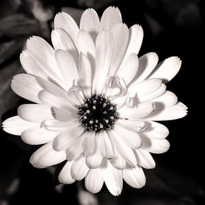 daisy--2