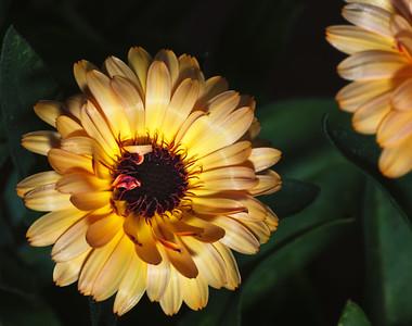daisy--3