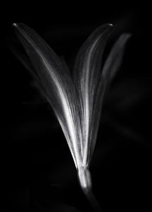 miniature amaryllis-