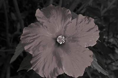 hibiscus light