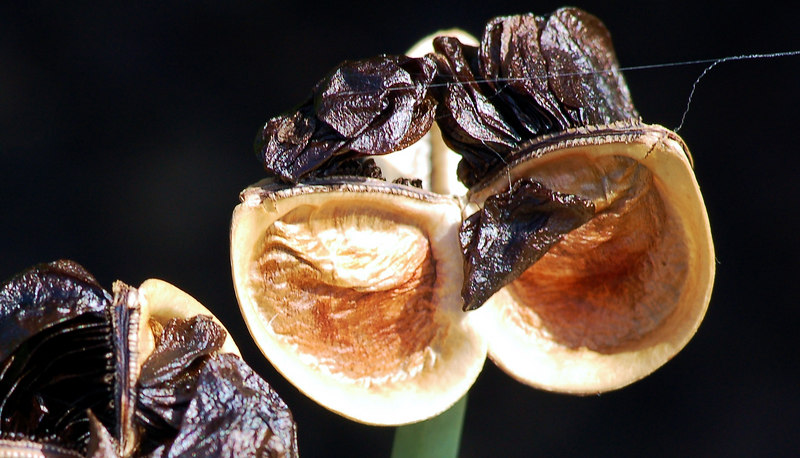 Amaryllis seeds