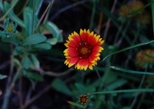 flower at dusk