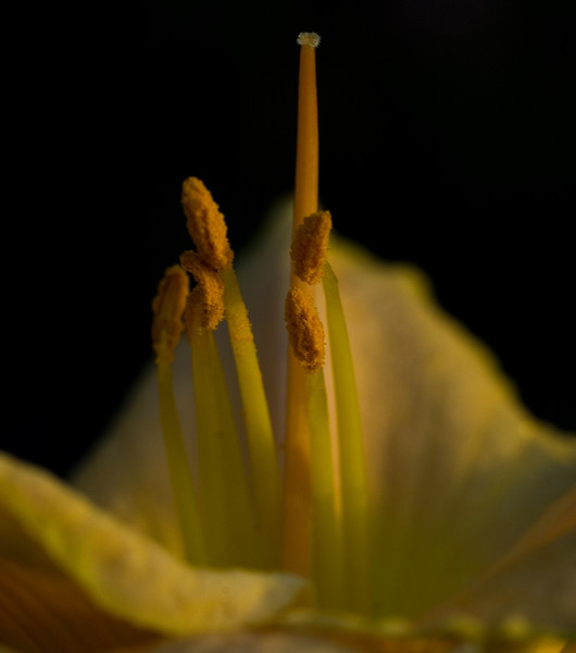 yellow hibiscus at sunset-48