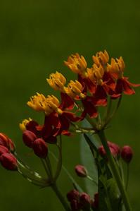 orange crowns-32