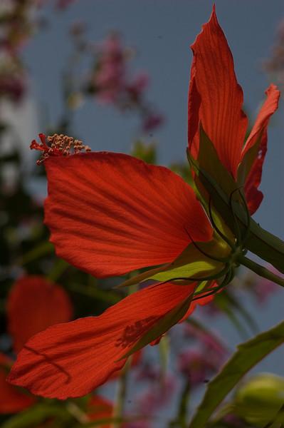 Hibiscus flower-5