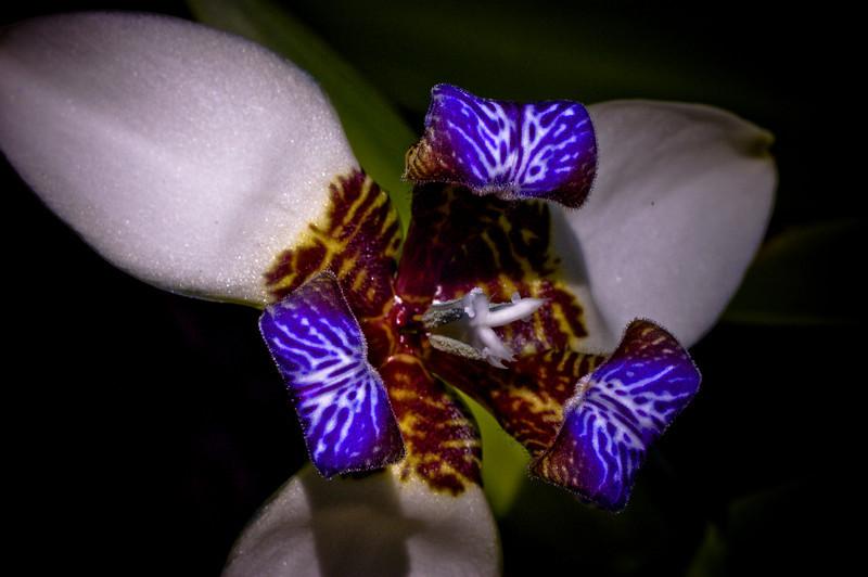 Wild Iris-5202