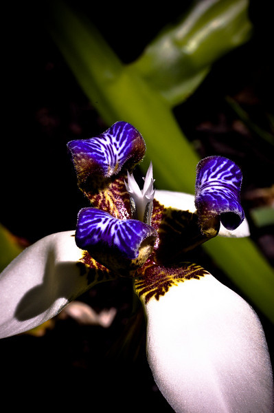 Wild Iris-5210