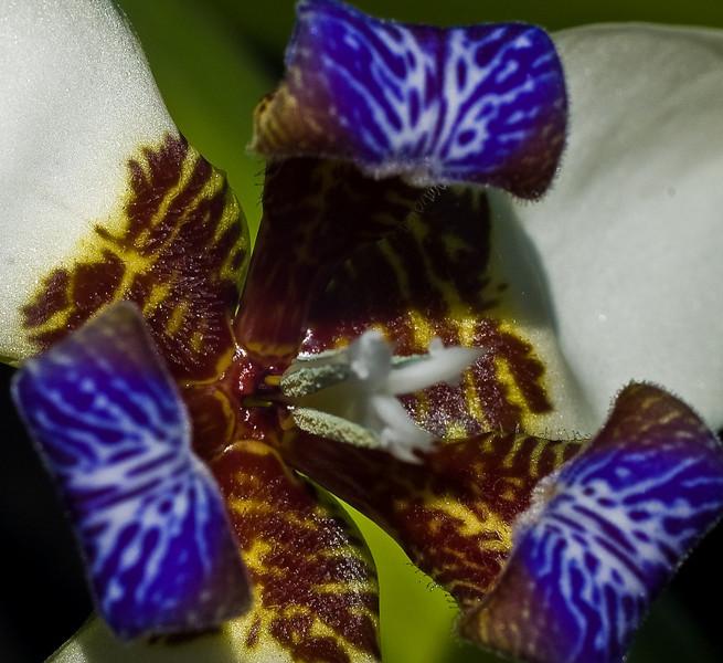 Wild Iris-5201