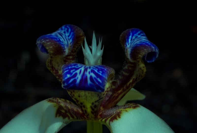 Wild Iris-5208