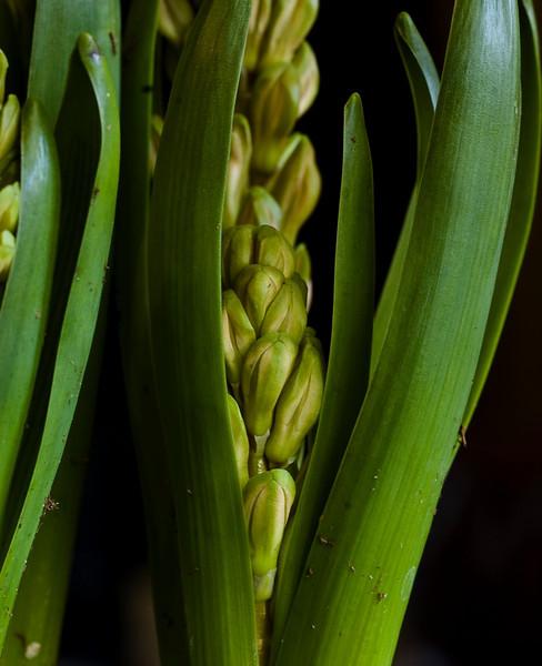 hyacinth-1625