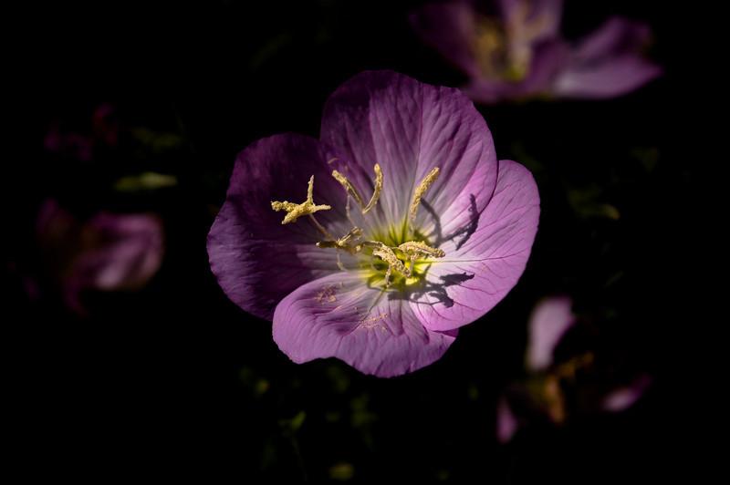 Prim rose-5429