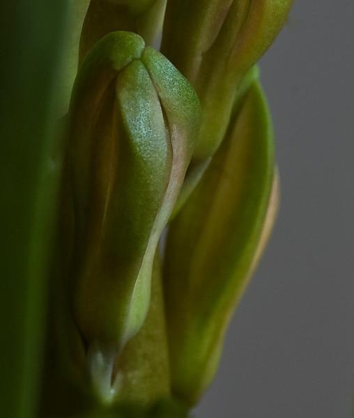 hyacinth-1632