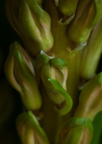 hyacinth-1636