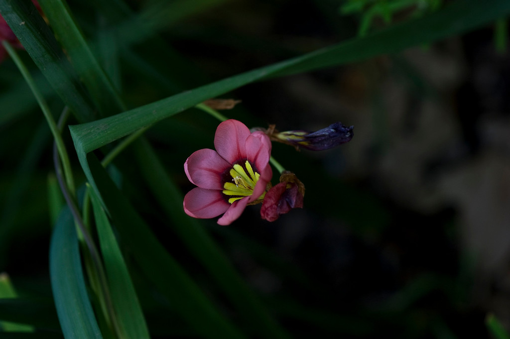 small pink and yellow flower-4452-2
