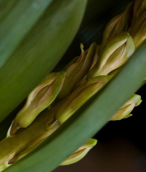 hyacinth-1621
