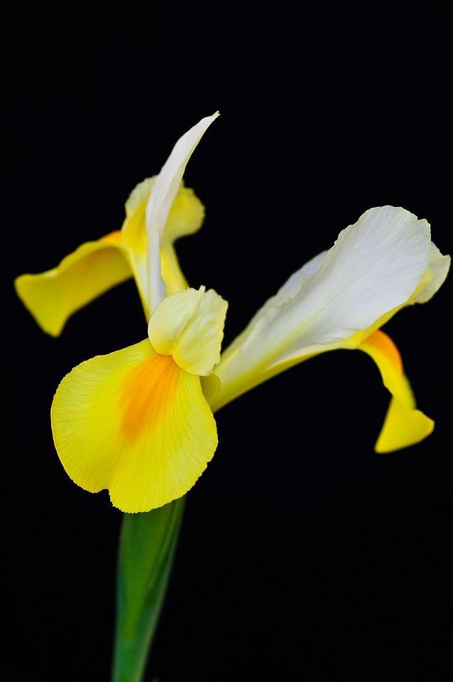 Iris-4266