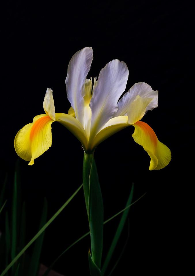 Iris-0034
