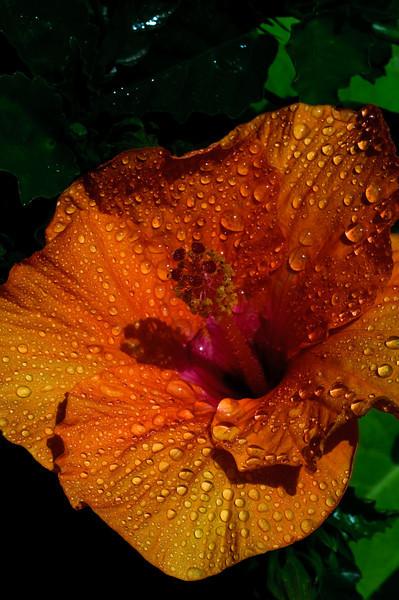 Hibiscus-1321