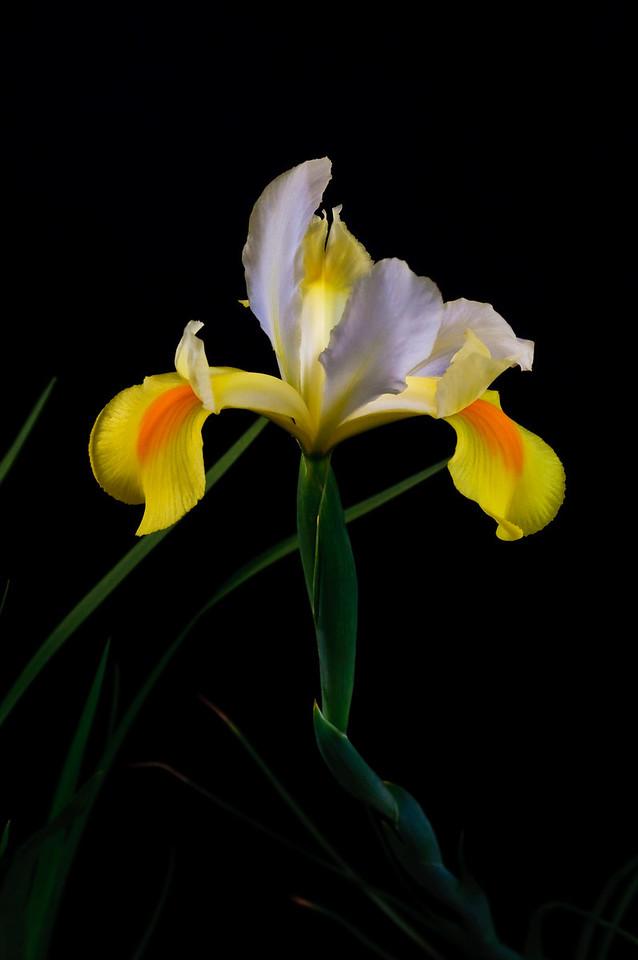 Iris-0036
