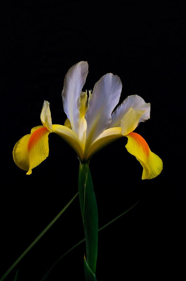 Iris-0035