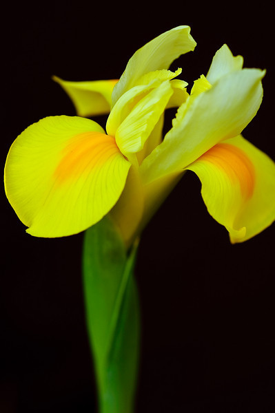 Iris-4252