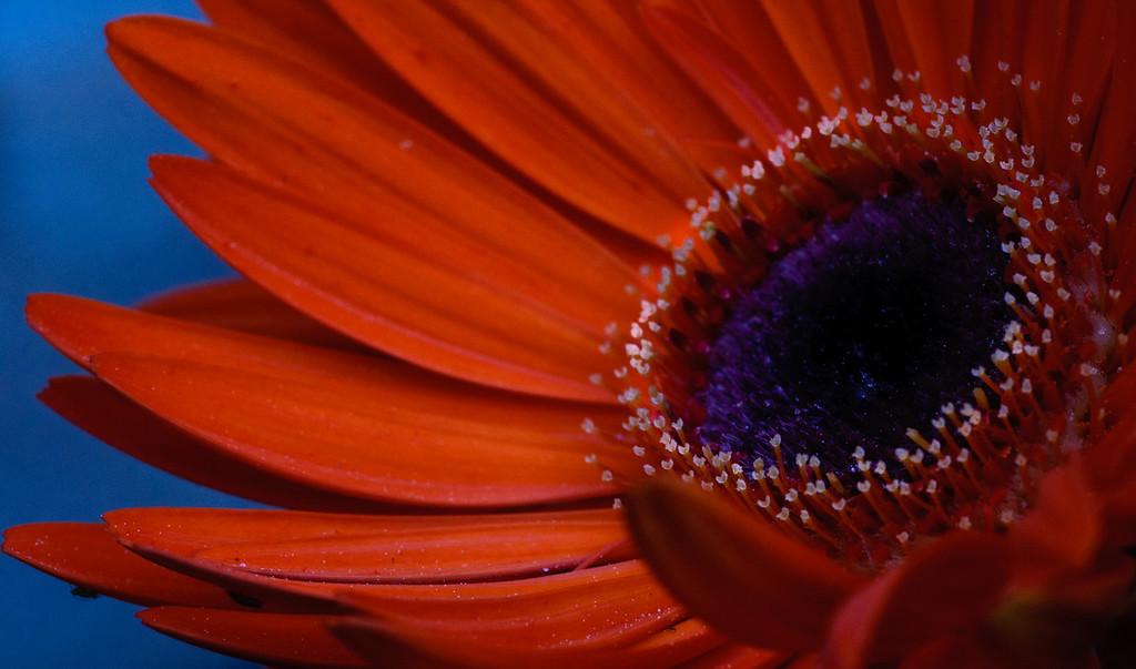 Gerbera Daisy-7348